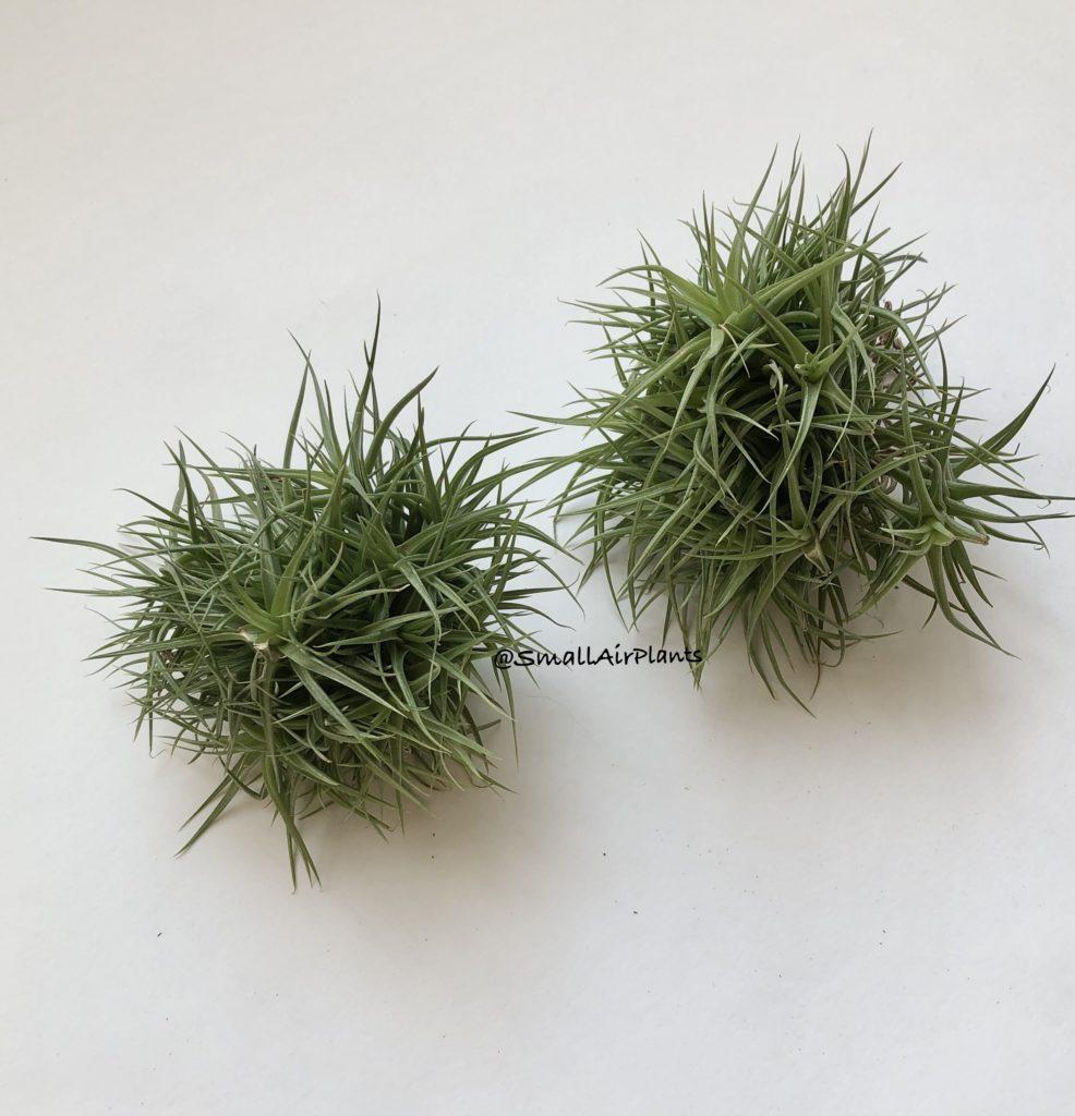 Купить «Aeranthos Minuette clump» в интернет-магазине Smallairplants