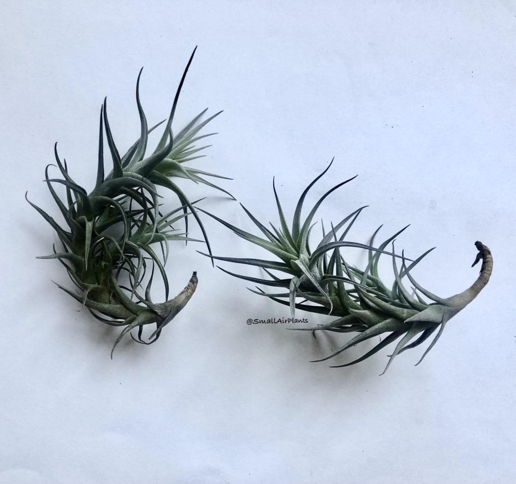 Купить «Bergeri Gray» в интернет-магазине Smallairplants